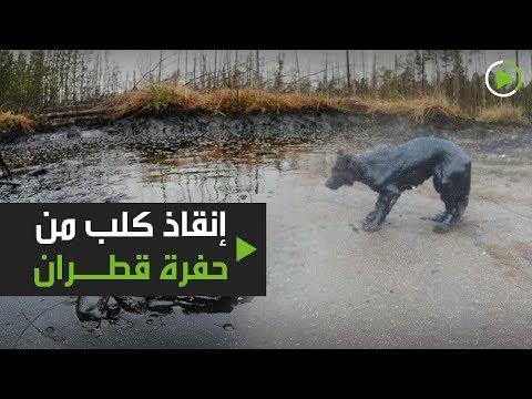 شاهد إنقاذ كلب من حفرة قطران في استراخان