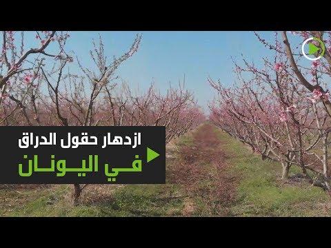 شاهد الأشجار الوردية تُغطي حقول فيريا في شمال اليونان