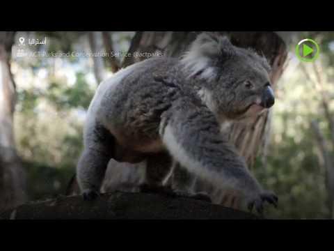 شاهد الكوالا الأسترالي يعود إلى بيته