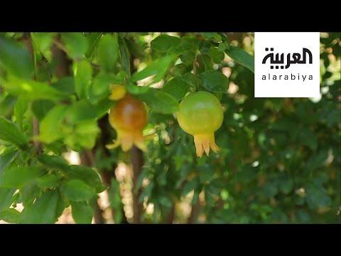 شاهد بذور الدول العربية تجتمع في تربة الأردن