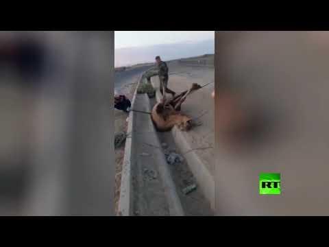 شاهد إنقاذ جمل علق في مجار لصرف مياه الأمطار في كيزيلوردا الكازاخية