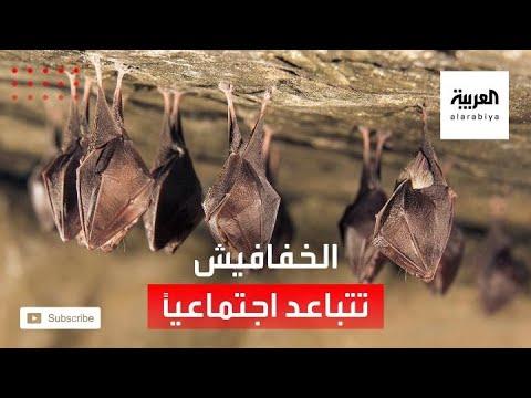 شاهد الخفافيش تتباعد اجتماعيًا عندما تشعر بالمرض