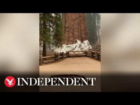 تغطية أكبر شجرة في العالم بورق الألمنيوم لحمايتها من النيران